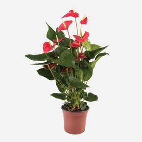 Flamingo (Anthurium Andraeanum) Çiçeği