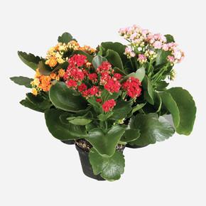 Kalanchoe Calandiva Çiçeği