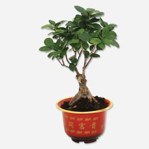 Bonsai 15cm