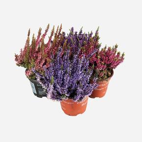 Funda (Erica) Çiçeği