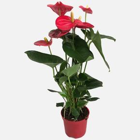 Anthurium Andreanum Antoryum Çiçeği