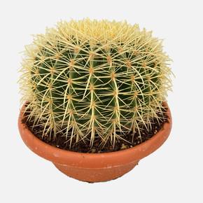 Echinocactus Grusoni Altınfıçı Kaktüsü