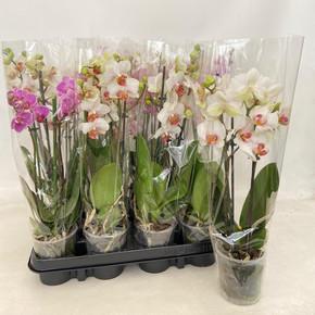 Phalaenopsis Mini Orkide