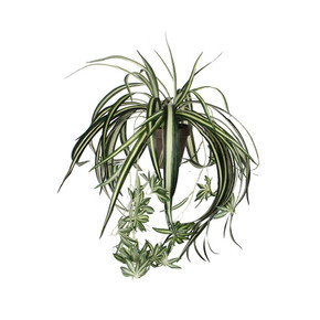 MICA Saksısa Chlorophytum Yeşil- Gri