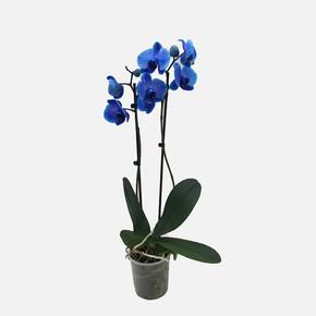 Çift Dal İthal Mavi Orkide