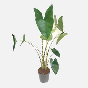 Calathea Zebrina Çiçeği