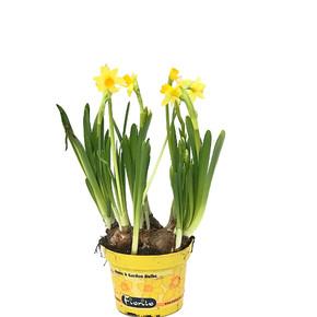 Narcisus Tete Çiçeği