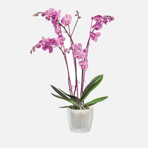 Elho Brussels Orkide Saksısı Şeffaf 13 cm