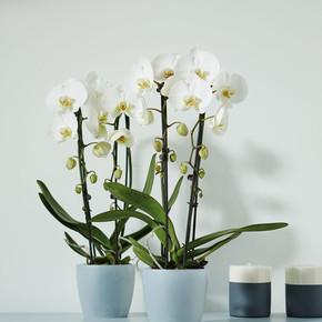 Elho Brussels Orkide Saksısı Şeffaf 16 cm