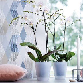 Orkide Saksısı Şeffaf Yüksek Brussels