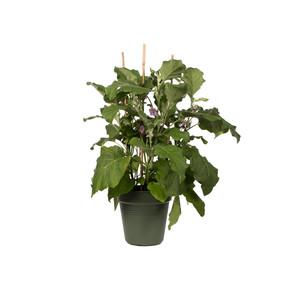 Elho Green Basics Yetiştirme Saksısı Yeşil 15 cm
