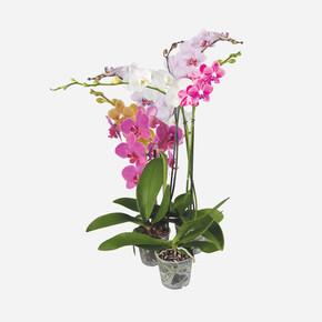 Çift Dallı Orkide