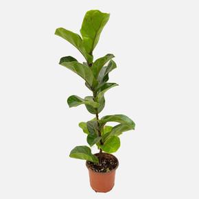Ficus Lyrata Çiçeği